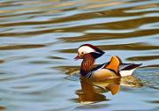 Wyróżnienie w kategorii Ptaki – Tomasz Dziubiński: Mandarynka