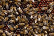 II miejsce – Ryszard Michno: Pszczoły